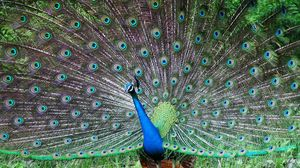Preview wallpaper peacock, bird, tail, male, patterns, posture