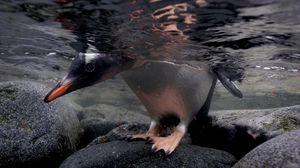 Preview wallpaper penguin, rocks, water, head, feet