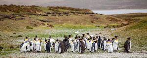 Preview wallpaper penguins, flock, grass, shore