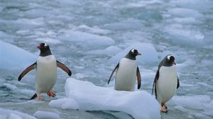Preview wallpaper penguins, three, linux, north