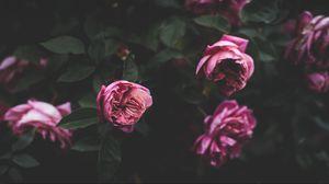 Preview wallpaper peonies, buds, bush, flowers