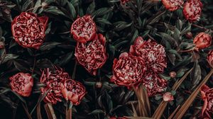 Preview wallpaper peonies, flowers, buds, flower bed