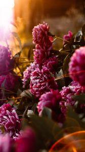 Preview wallpaper peonies, flowers, pink, sunlight, flare, bloom