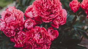 Preview wallpaper peonies, flowers, pink, bloom, plant