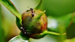 Preview wallpaper peony, ants, bud, insects