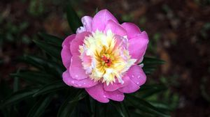 Preview wallpaper peony, drops, bud, pink