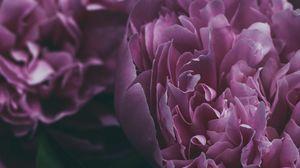 Preview wallpaper peony, flower, petals, pink, bloom