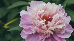 Preview wallpaper peony, flower, pink, buds