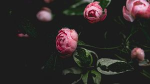 Preview wallpaper peony, flower, pink, drops, dew