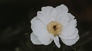 Preview wallpaper peony, flower, white, blur