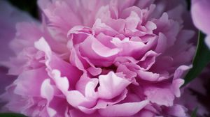 Preview wallpaper peony, flowers, plant