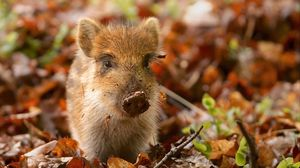 Preview wallpaper pig, dirt, leaves, autumn, small