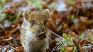 Preview wallpaper pig, dirt, small, leaves, autumn