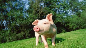Preview wallpaper pig, grass, lawn