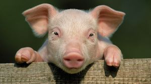 Preview wallpaper pig, little pig, countryside, hooves, close up, face