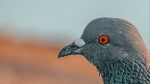 Preview wallpaper pigeon, bird, beak, profile