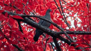 Preview wallpaper pigeon, bird, branch, tree, red
