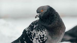 Preview wallpaper pigeon, bird, curious, gray