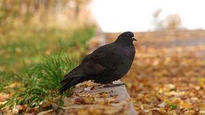 Preview wallpaper pigeon, bird, fall, foliage, footpath