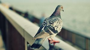 Preview wallpaper pigeon, bird, feathers, sit