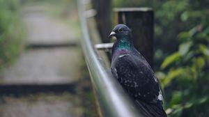 Preview wallpaper pigeon, bird, gray