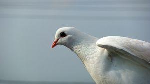 Preview wallpaper pigeon, bird, light, feather