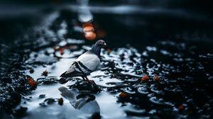Preview wallpaper pigeon, bird, water, blur, glare