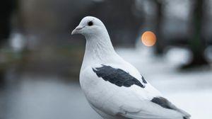 Preview wallpaper pigeon, bird, white, blur