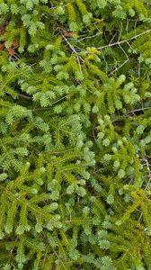 Preview wallpaper pine, needles, branches, green, macro