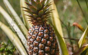 Preview wallpaper pineapple, fruit, leaves