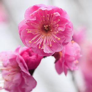 Preview wallpaper pink, flowers, branch, apricot, blossom, close-up