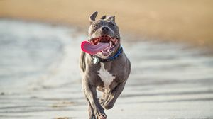 Preview wallpaper pit bull terrier, run, protruding tongue