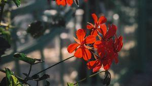 Preview wallpaper plant, flowers, petals, red, macro