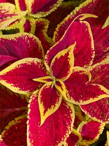 Preview wallpaper plant, leaves, macro, red, yellow