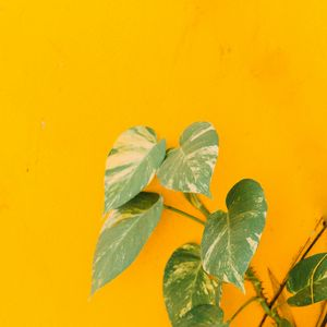 Preview wallpaper plant, leaves, wall, yellow, minimalism