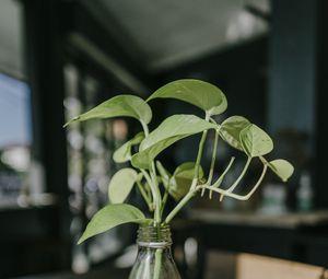 Preview wallpaper plant, stem, leaves, vase, decor