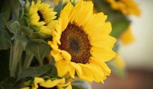 Preview wallpaper plant, sunflower, flower, petals, yellow, macro