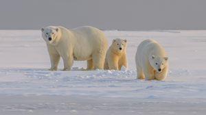 Preview wallpaper polar bear, bear, animal, white, snow