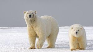 Preview wallpaper polar bear, bear, predator, glance, ice, snow