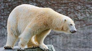 Preview wallpaper polar bear, big, wool