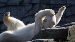 Preview wallpaper polar bear, lying, playful