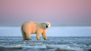 Preview wallpaper polar bear, snow, ice, sky