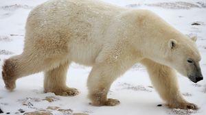 Preview wallpaper polar bear, snow, winter