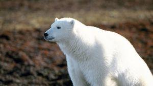 Preview wallpaper polar bear, walking, wool, big
