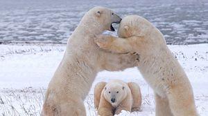 Preview wallpaper polar bears, pack, fight