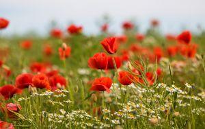 Preview wallpaper poppies, flowers, field, plants, macro