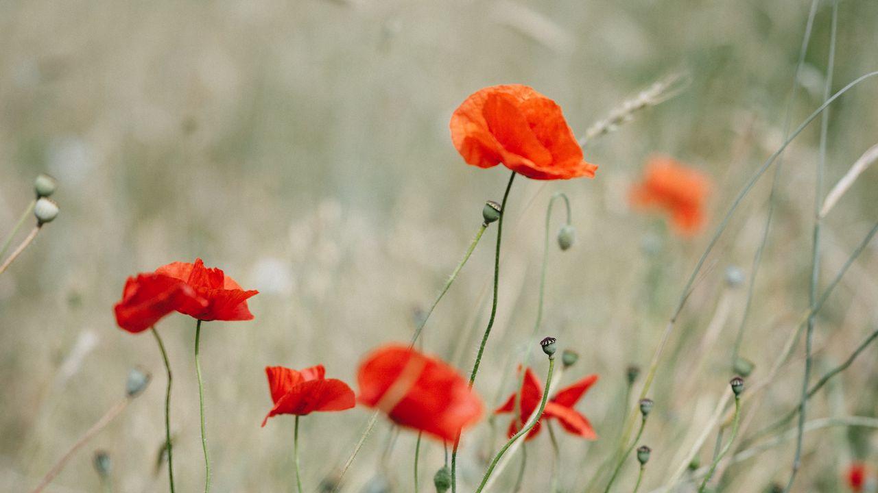 【壁纸桌面】罂粟花,野花,花,草高清壁纸免费下载