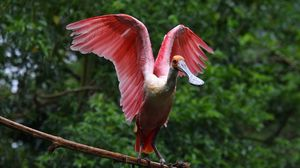 Preview wallpaper poultry, exotic, big, wings, swing, branch