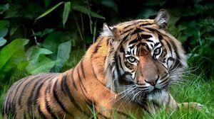 Preview wallpaper predator, tiger, eyes, lying, grass