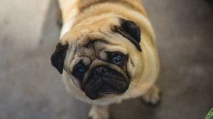 Preview wallpaper pug, dog, cute, aerial view